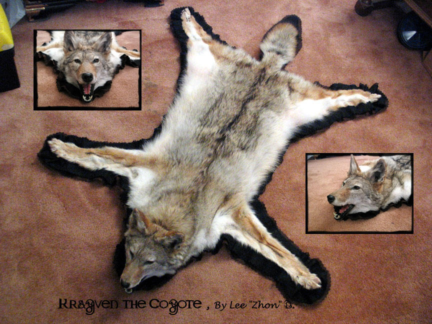 Coyote Rug Taxidermy By Zhon On Deviantart