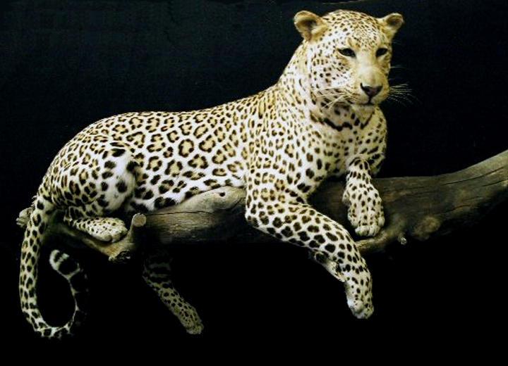 The Leopard Awaits by Zhon