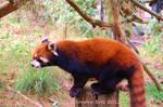 Red Panda ......