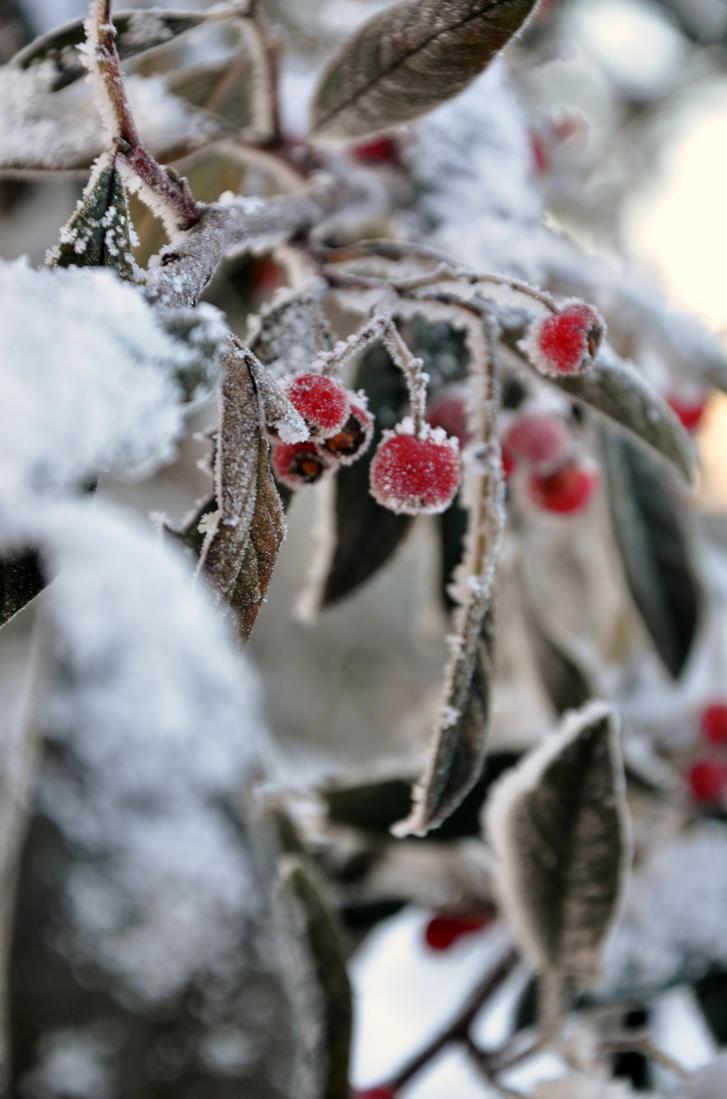 Winter Berries by MUNRO-JAMIE