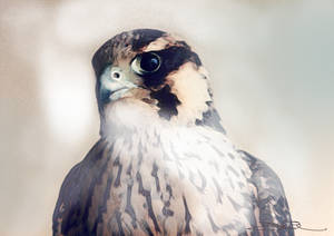 Falcon Head - Sultan