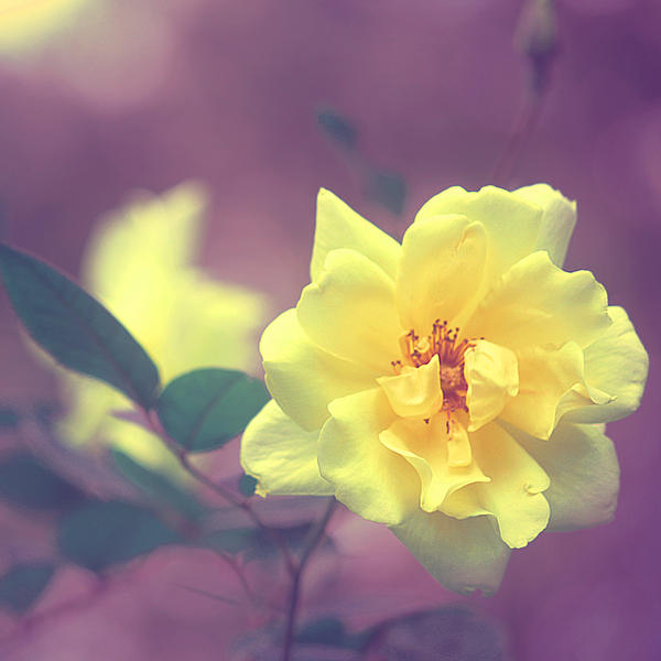 Yellow Rose by incolor16