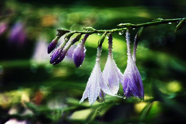 Hosta Flower by incolor16