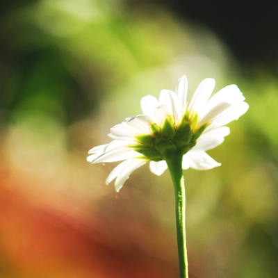 White Daisy by incolor16