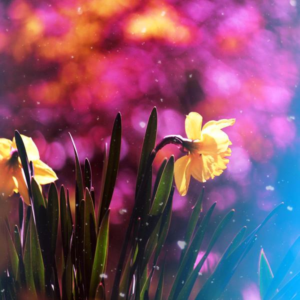 Bashful Daffodil by incolor16