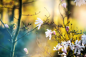 Magnolia Tree by incolor16