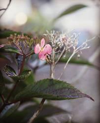 Individual Hydrangea