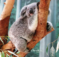 Sleepy, dreamy, Koala