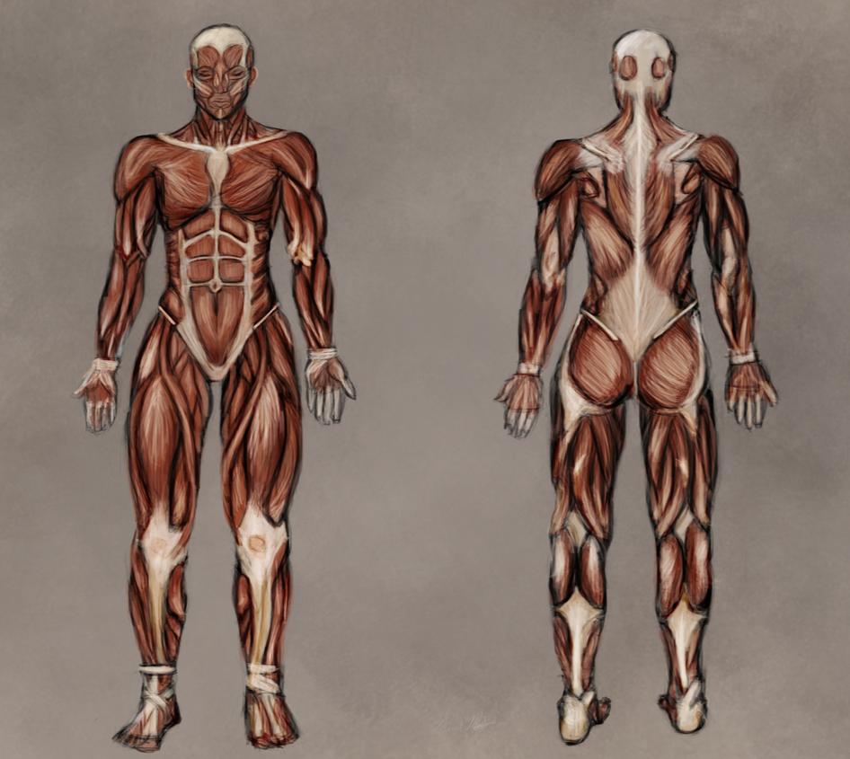 Anatomy - Muscle Drawing/Diagram by Kadira7211 on DeviantArt
