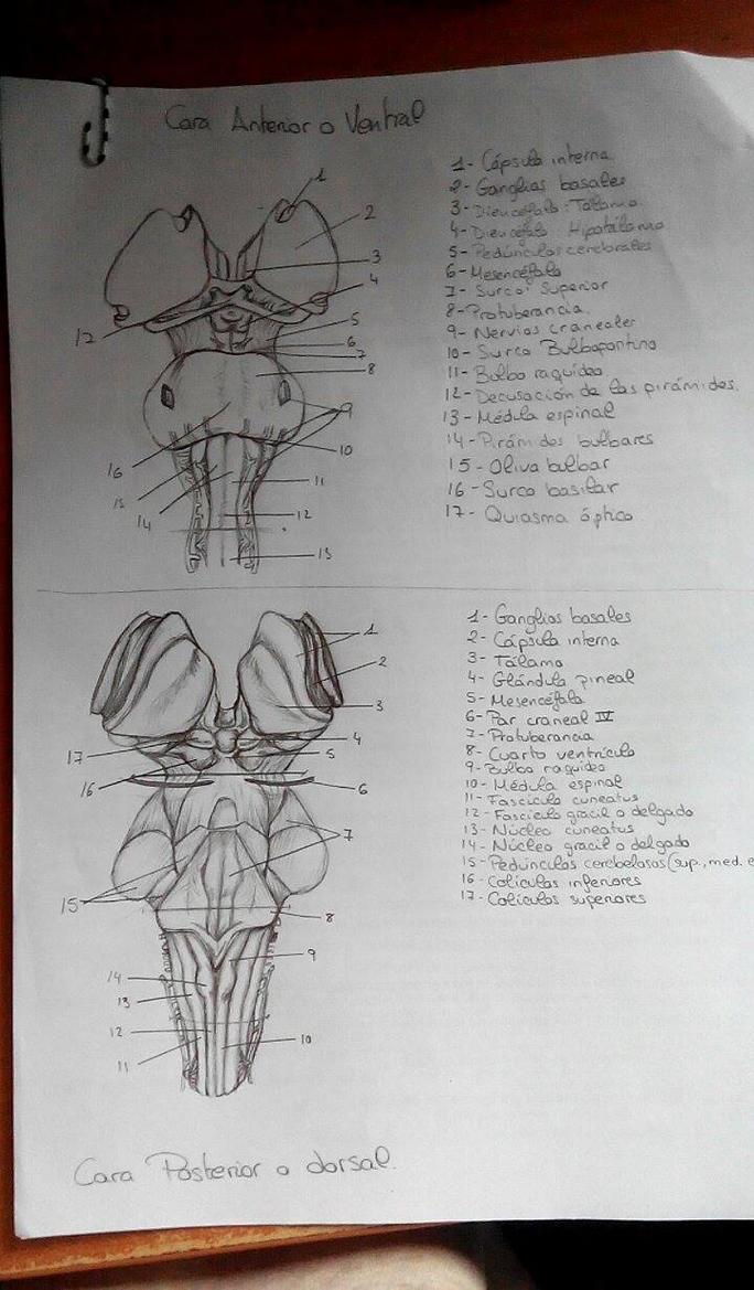 Anatomy drawing by Anaitsu