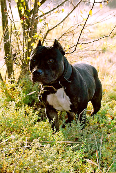 APBT or Bully? - Pitbulls : Go Pitbull Dog Forums