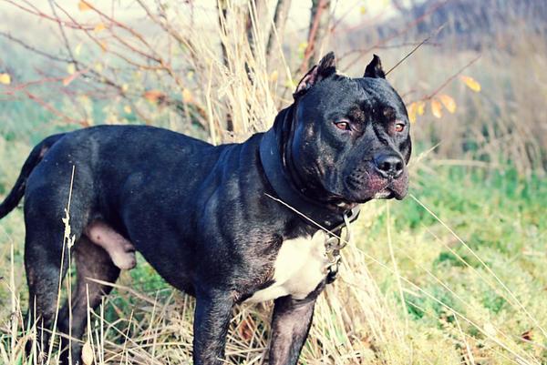 Apbt Or Bully Pitbulls Go Pitbull Dog Forums