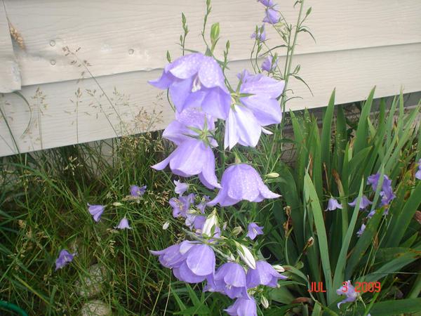 Purple bell flower 4 by fankitsune on deviantart purple bell flower 4 by fankitsune mightylinksfo