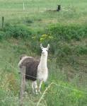 Llama Stare