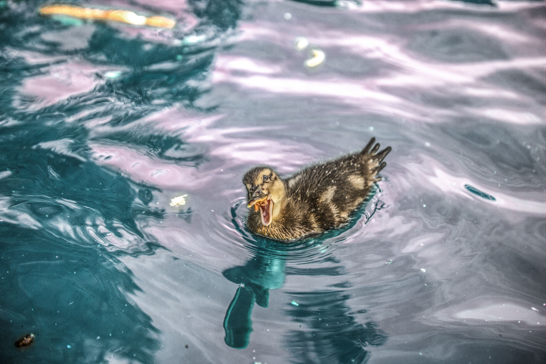 Duckling eating bread by TomasMascinskas