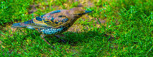 Juvenile Common Starling