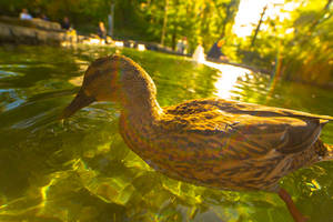 Female Mallard in Canary Wharf by TMProjection