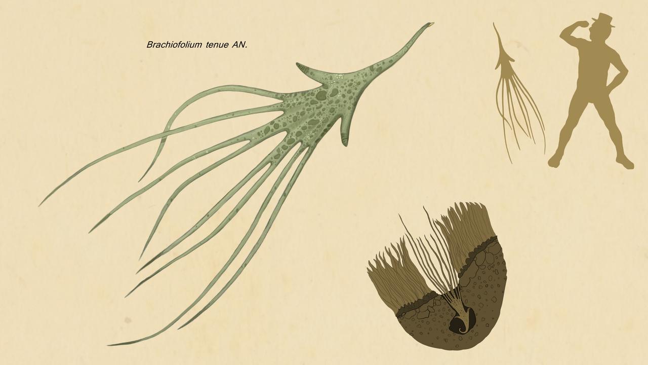 Brachiofolium tenue by Sanrou