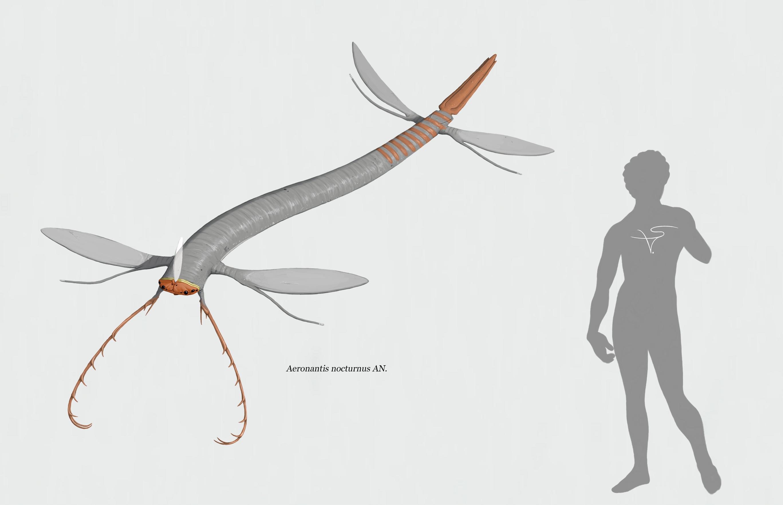 Aeronantis nocturnus (Blandoptera) by Sanrou