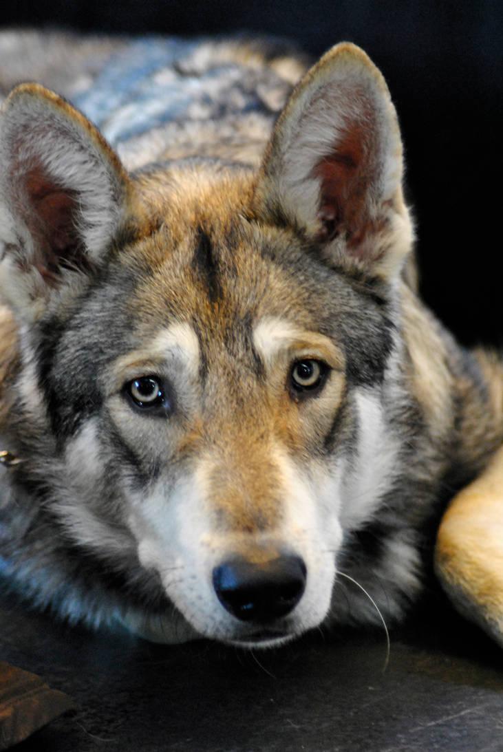 Czechoslovakian Wolfdog by Loulesca
