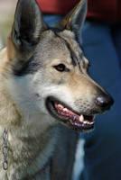 Czechoslovakian Wolfdog II by Loulesca