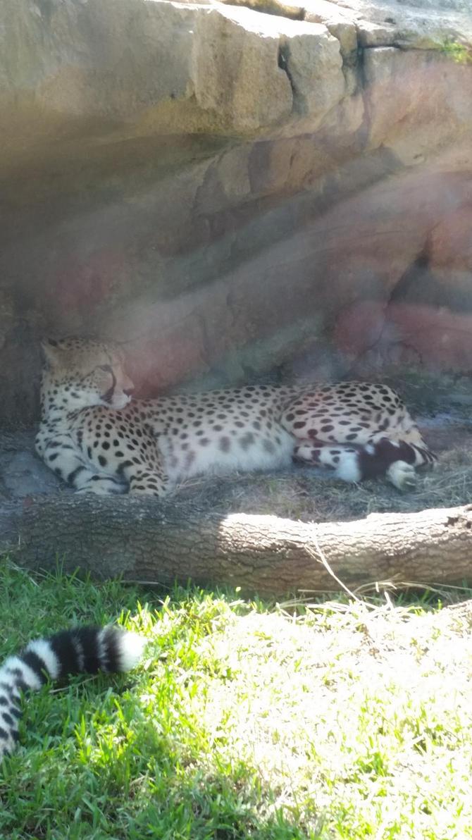 Chillin' Cheetah by RenVortex