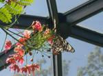 buttterflies