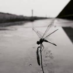 dragonfly by Ariake Sea