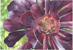 Purple Aeonium Succulent - Aquamarkers