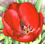 Red Tulip - Aquamarker watercolour marker TUTORIAL by GeeMassamArt