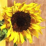 Yellow Sunflower - Pigment Marker Drawing by GeeMassamArt