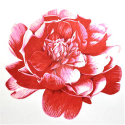 Red Camellia - Marker drawing