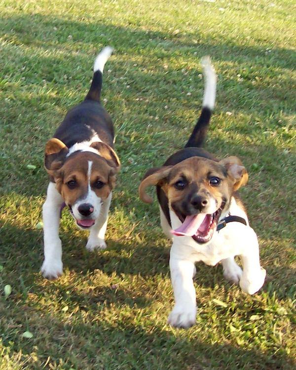 beagles 2 by micah87