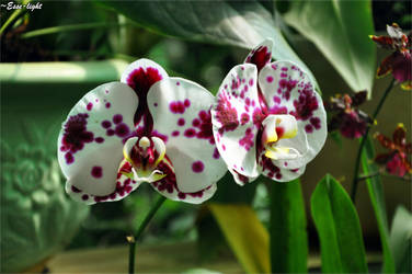 Orchids by Esse-light