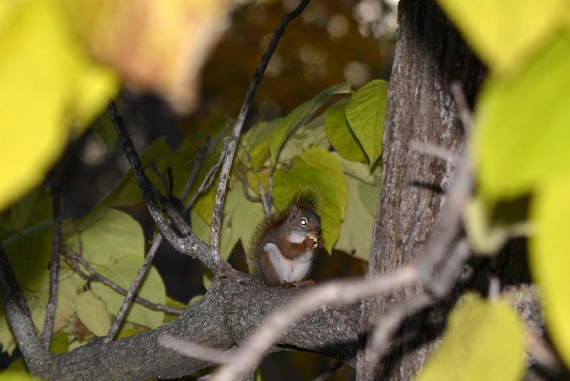 Red Squirrel 10-25-14 by the-railblazer