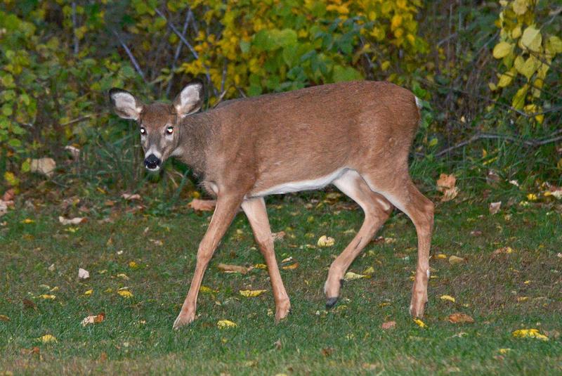 Deer 10-25-14 by the-railblazer
