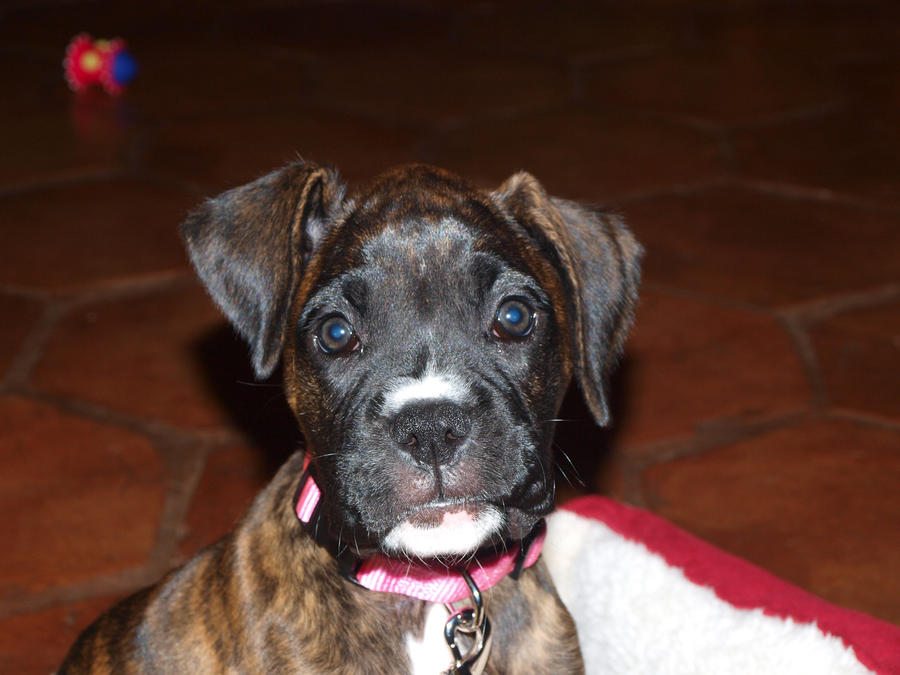 Image gallery reverse brindle for Brindle boxer