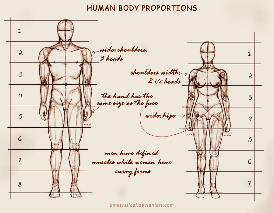 Human Body Proportions (Male and Female) by Ametystical