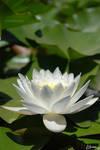 Lotus by Morrkedi