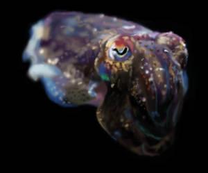Cuttlefish Study