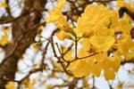 The Yellow Tree Flowers