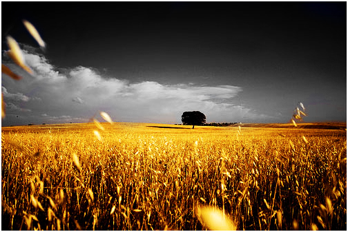 Wheat Contrast by Hazard-studios