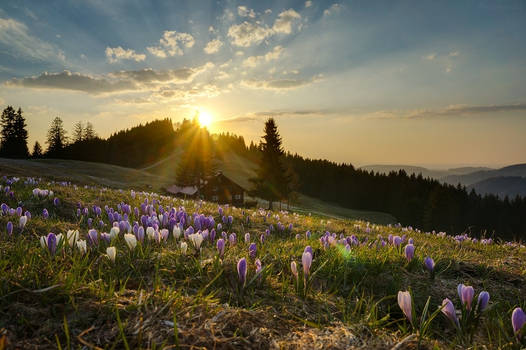 crocus sunset