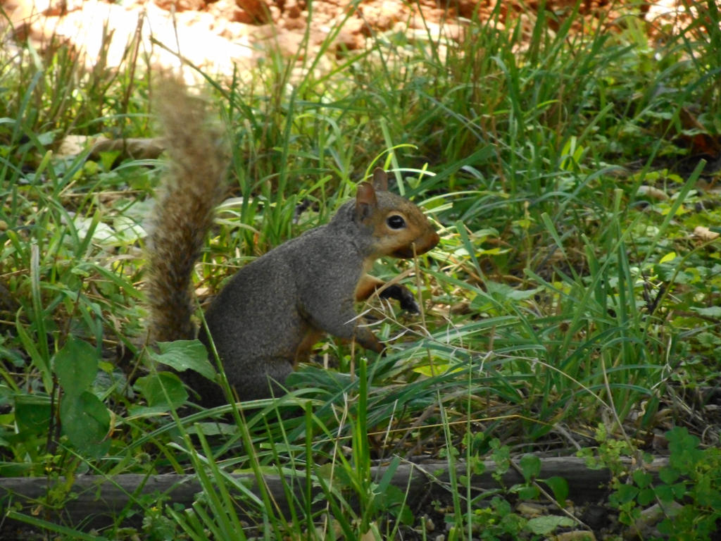 I thought it was a fox squirrel by brandi3981