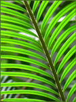 Palm leaves by CathyCZ
