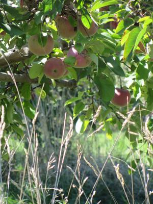Tall Stalks and Apple Trees