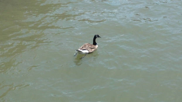 Just a ducky at pier 84