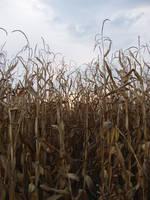 Lugubrum-stock corn2 by lugubrum-stock
