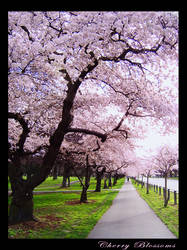 Cherry Blossoms by atre