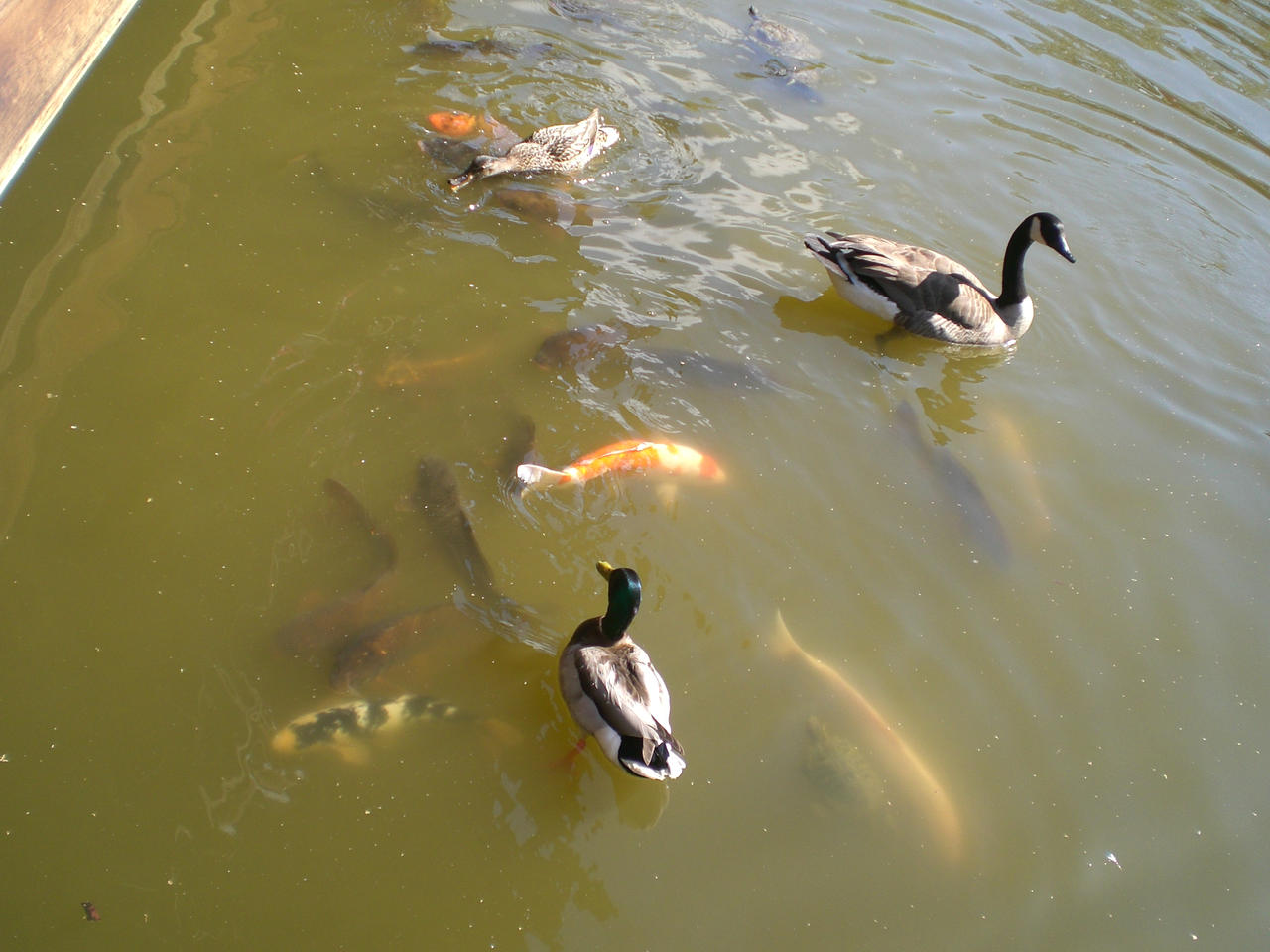 Ducks fish turtles pond by mrfats on deviantart for Fishing for ducks